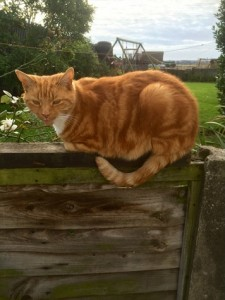Ginger-cat-Brandreth-Barn