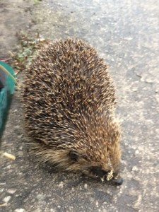 Hedgehog-Brandreth-Barn