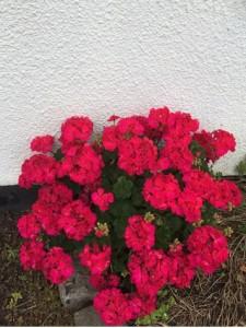 Pink-plant-Brandreth-Barn
